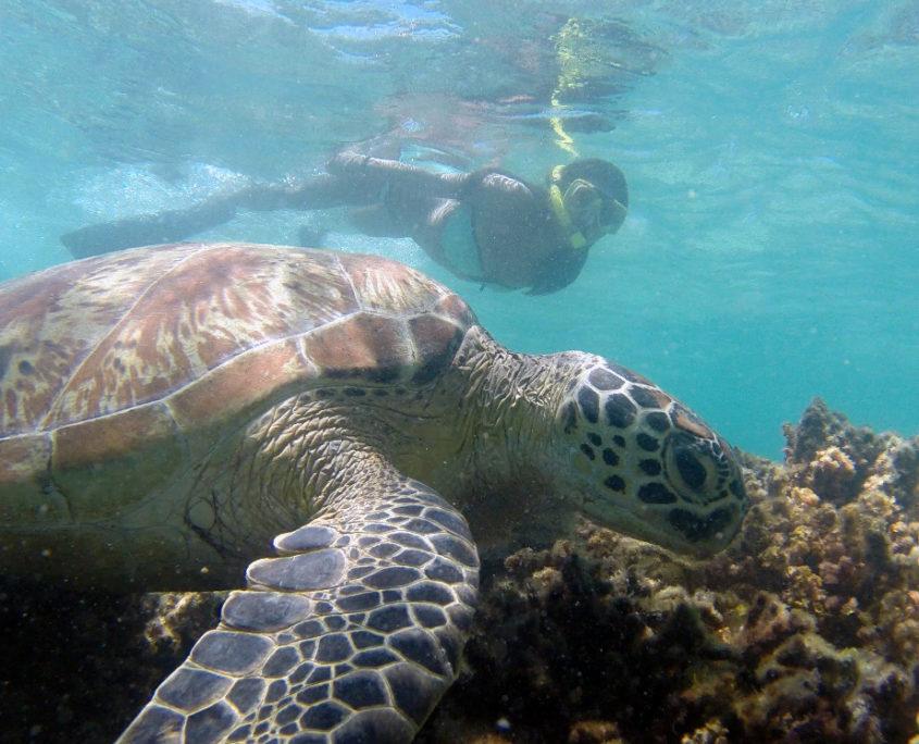 marine-conservation-australia-reef-turtle